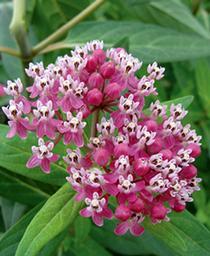 Butterfly Weed Cinderella    - Asclepias incarnata -  std pot